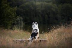 Zitting van de hond de Australische Herder op een bank Huisdier in aard De stemming van de herfst Vele roze en magenta asters stock afbeeldingen