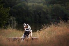 Zitting van de hond de Australische Herder op een bank Huisdier in aard De stemming van de herfst Vele roze en magenta asters royalty-vrije stock foto