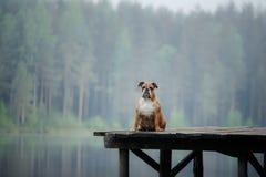 Zitting van de hond de Engelse buldog op een houten pijler royalty-vrije stock afbeelding