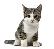 Zitting van de katjes de binnenlandse kat, 3 geïsoleerde maanden oud, Stock Foto