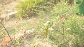 Zitting van de papegaai de roze-geringde parkiet op een takje die van de boomtak rond eruit zien stock videobeelden