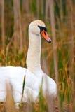 Zitting van de Zwaan van de Moeder van Protrait de Wilde op Nest stock afbeeldingen