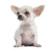 Zitting van het Chihuahuapuppy, die 4 geïsoleerde maanden, omhoog de eruit zien royalty-vrije stock fotografie