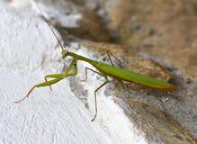 Zitting van insect de groene bidsprinkhanen op een rots De zomer Stock Afbeeldingen
