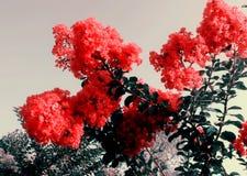 Ziwei blommor Arkivfoton