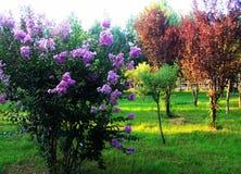 Ziwei blommor Royaltyfri Bild