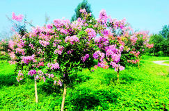 Ziwei blommor Royaltyfria Bilder