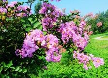 Ziwei-Blumen Stockbild