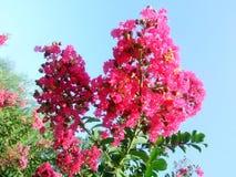 Ziwei-Blumen Stockfotos