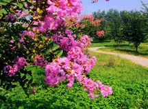 Ziwei-Blumen Stockfotografie