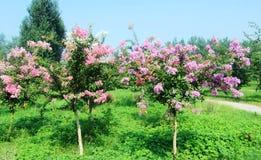 Ziwei-Blumen Lizenzfreie Stockfotos