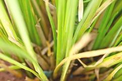 Zizanioides de Vetiveria d'herbe de vétiver Image libre de droits