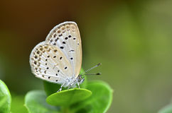 Zizeeria maha okinawana small butterfly Stock Images
