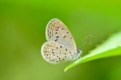 Zizeeria matsumura okinawana butterfly Royalty Free Stock Photos