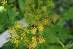 Ziziaaurea, gouden alexanders, gouden zizia Stock Afbeelding