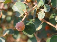 Ziziphus Nummularia - bacche indiane - Jharber - frutta, foglie e pianta Fotografia Stock Libera da Diritti