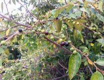 Ziziphus oenoplia Sri Lanka wild fruit royalty free stock photo