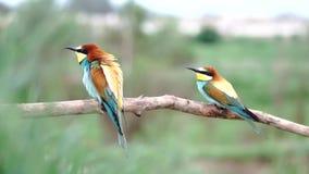 Zjadaczów ptaków tana kotelni tanowie zbiory