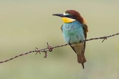 Zjadacza europejczyk lub błonie - zjadacz (Merops apiaster) Obrazy Stock