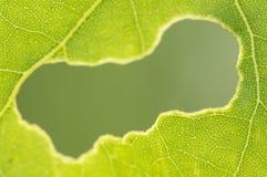 Zjedzona dziura w zielonym liściu Zdjęcie Royalty Free