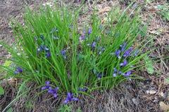 Zki ou orchidées de ` de slÑ de coucou de fleurs sauvages Photo libre de droits