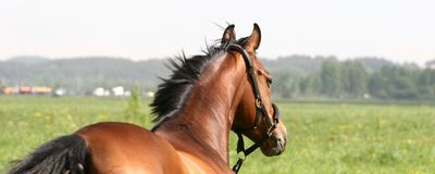 Zlata on the field. Horse named of Zlata went out to take a walk in the field Stock Photography