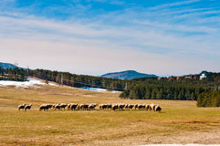 Zlatibor ängar med sheeps royaltyfria foton