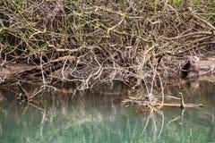 Zlatna Panega riverbank dry branches at Iskar - Panega Eco-path Geopark, the first geopark in Bulgaria stock image