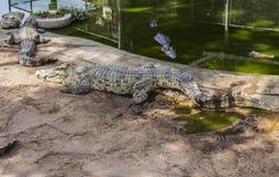 Zli krokodyle w Tajlandia Zdjęcia Stock