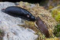 Slug meeting. A black slug and two spanish slugs meeting over a peanut Stock Images