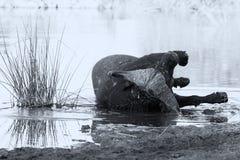 Zmęczonego przylądka byka bawoli kołysanie się w wodnym stawie cool w dół artis Fotografia Stock
