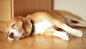 Zmęczony beagle ledwo otwiera jego ono przyglądał się podczas gdy kłamający na podłoga zbiory