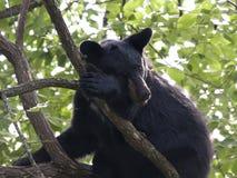 Zmęczony Czarny Niedźwiadkowy lisiątko Zdjęcia Stock