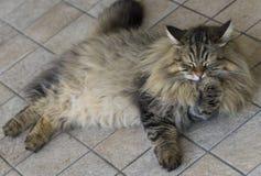 Zmęczony kota lying on the beach na podłogowego, siberian trakenu brązu oblizania skumbriowej męskiej łapie, Obrazy Royalty Free