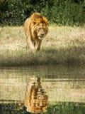 Zmęczony męski lew chodzi przeciw cieniowi i wodopojowi obrazy stock