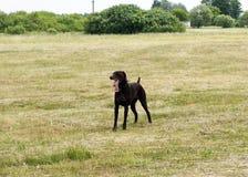 Zmęczony pies po biegać Fotografia Stock