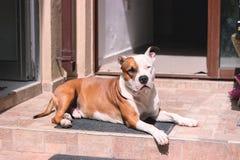 zmęczony psi kłaść na podłoga obraz royalty free