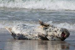 Zmęczona Horsehead foka Obrazy Royalty Free