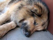Zmęczony jako pies Zdjęcia Stock