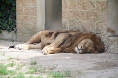 Zmęczony lwa dosypianie Zdjęcia Stock