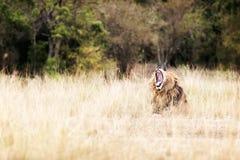 Zmęczony lwa ziewanie w obszarach trawiastych Obraz Royalty Free