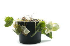 Zmarniała garnek roślina obraz stock