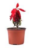 Zmarniały czerwony kwiat w flowerpot zdjęcie royalty free
