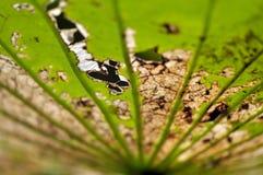Zmarniały liść lotosowa roślina w naturze Obraz Royalty Free
