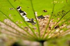 Zmarniały liść lotosowa roślina w naturze Obrazy Stock