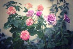 Zmarniały stary wzrastał kwiatu tło obrazy stock