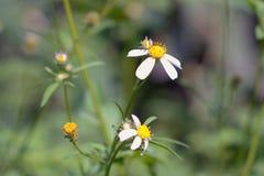 Zmarniały trawa kwiat Zdjęcia Stock