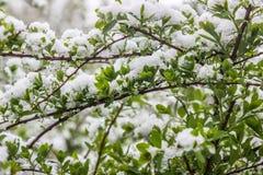 Zmiana klimatu w Maju w wiośnie, śnieg spada, Minsk, Białoruś Zdjęcie Stock