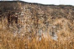 Zmiana sezonu pojęcie: zaparowywa kropelki na zatartej żółtej trawie, płochy w opóźnionym jesień ranku zdjęcia royalty free