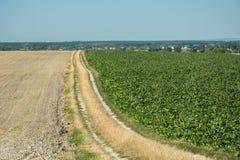 Zmielona droga oddziela zaoranego pole, buraka pole, horyzont i bezchmurny niebo, fotografia royalty free